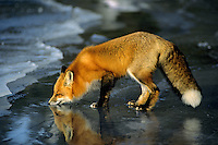 Red fox (Vulpes vulpes) drinking melt water on top of frozen lake, November.