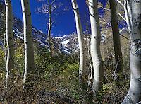 Aspen forest in Colorado.
