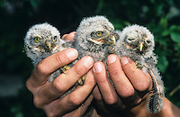 Steinkauz, Jungvogel, Küken sollen beringt werden, Stein-Kauz, Kauz, Käuzchen, Athene noctua, little owl