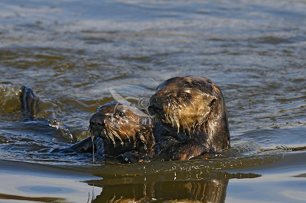 Sea Otter (Enhydra lutris) mom with 1/2 grown pup.