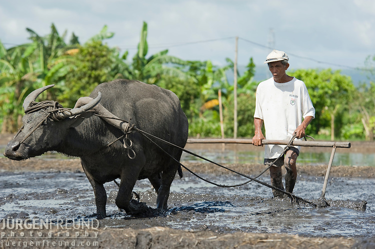Filipino farmer and his trusted carabao plowing the fields to prepare it for planting rice.