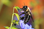 Carpenter Bee Nactaring On Blue Flowers, Colorful Background, Xylocopa micans