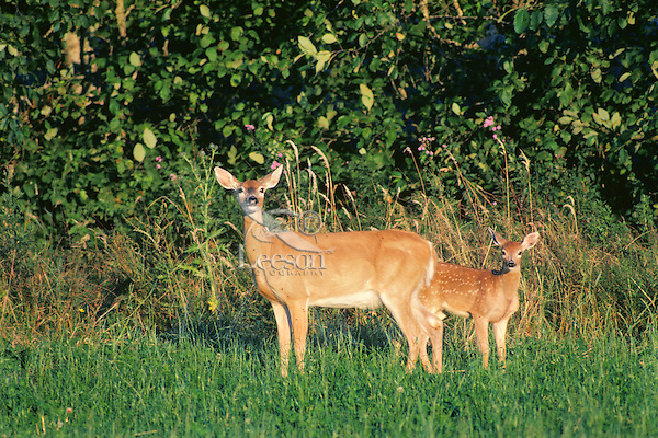 Columbia White-tail Deer doe and fawn.