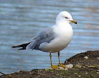 Ring-billed gull in April