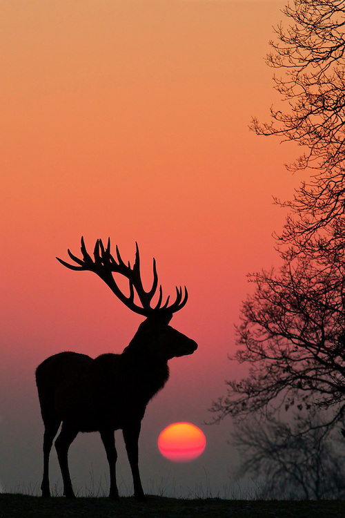 Red deer silhouette with a rising sun.