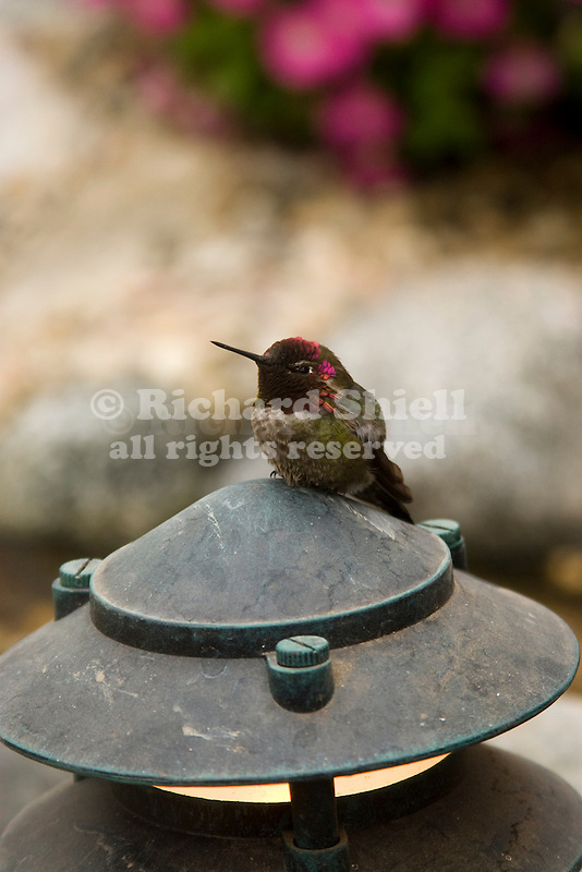 MALE ANNA'S HUMMINGBIRD PERCHED ON LANDSCAPE LIGHT, CALYPTE ANNA