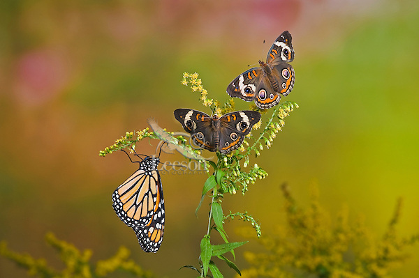 Common Buckeye (Junonia coenia) and Monarch butterfly (Danaus plexippus)  on goldenrod. The bold eyespots serve to startle or distract predators to allow a quick escape.  Autumn. Ontario, Canada.