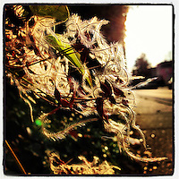 The sun illuminates the fuzzy seeds of Clematis virginiana along Duval Street in the Germantown secton of Philadelphia on December 2, 2012.