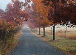Idaho, North, Kootenai County, Coeur d'Alene. A driveway with wild turkeys and autumn color on a foggy morning.