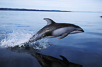 nb48. Pacific White-sided Dolphin (Lagenorhynchus obliquidens) leaping. British Columbia, Canada, Pacific Ocean..Photo Copyright © Brandon Cole.  All rights reserved worldwide.  www.brandoncole.com..This photo is NOT free. It is NOT in the public domain...Rights to reproduction of photograph granted only upon payment of invoice in full.  Any use whatsoever prior to such payment will be considered an infringement of copyright...Brandon Cole.Marine Photography.http://www.brandoncole.com.email: brandoncole@msn.com.4917 N. Boeing Rd..Spokane Valley, WA 99206   USA..tel: 509-535-3489