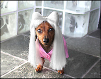 BNPS.co.uk (01202 558833)<br /> Pic: Cushzilla/BNPS<br /> <br /> ***Please use full byline***<br /> <br /> Lady Gaga wig.<br /> <br /> A barking-mad designer has launched a range of wigs that turn pets into pop princesses including Katy Perry, Lady Gaga, Britney Spears and even Dolly Parton.<br /> <br /> Dogs and cats can also be dressed up as dragons, pilots, wizards or Prince Charming thanks to Leah Workman's wacky creations.<br /> <br /> The 40-year-old from Los Angeles spotted the trend of dressing up pets while studying in Japan - and later teamed up with husband Hiroshi Hibino to launch company Cushzilla.<br /> <br /> The pair instantly set tails wagging around the internet with their bonkers brand of pet fashion, which also features Sharon Osbourne and Sid Vicious wigs and cow and tiger costumes.<br /> <br /> Leah imports the high quality handmade wigs while costumes come from famous Japanese pet clothing designer Takako Iwasa.<br /> <br /> She says the most popular wig is the Lady Gaga, while the pilot's outfit tops the popularity charts in the costume department.<br /> <br /> Her own cats Jitters and Justus model many of the products on the company's website.