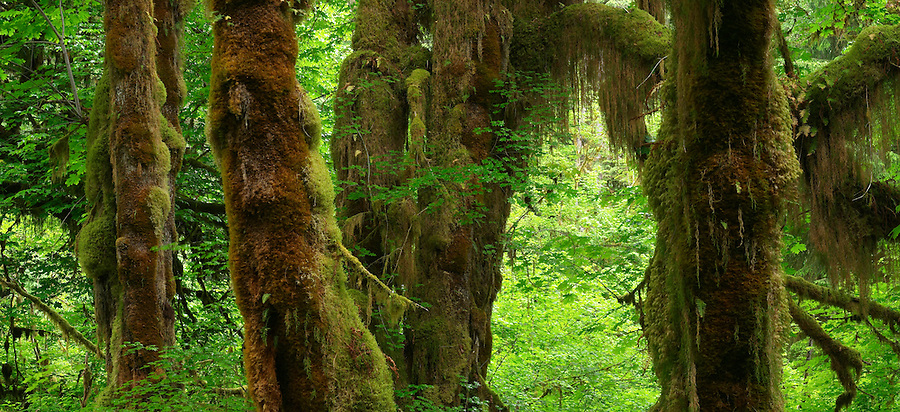 Panorama of temperate old growth rain forest, Hall of Mosses Trail, Hoh Rain Forest, Olympic National Park, Olympic Peninsula, Jefferson County, Washington, USA