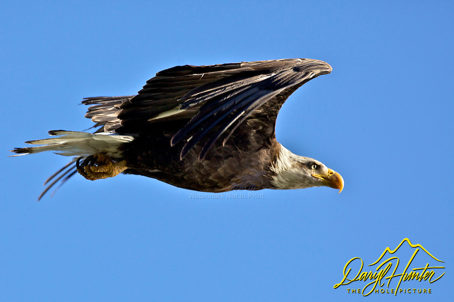 Bald Eagle in Flight, Grand Teton National Park