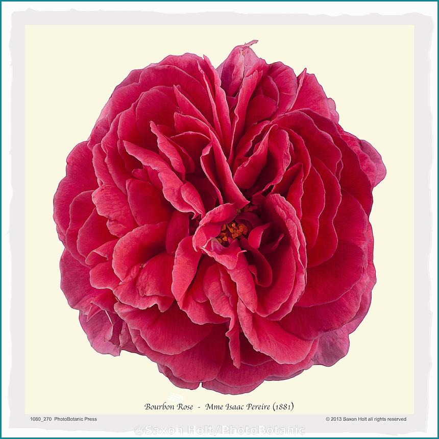 PhotoBotanic Print - Old rose 'Mme Isaac Pereire' - Bourbon (1881), flower print, silhouette