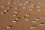 Namibia, Namib Desert, Namibrand Nature Reserve, aerial view of herd of springbok (Antidorcas marsupialis) in desert