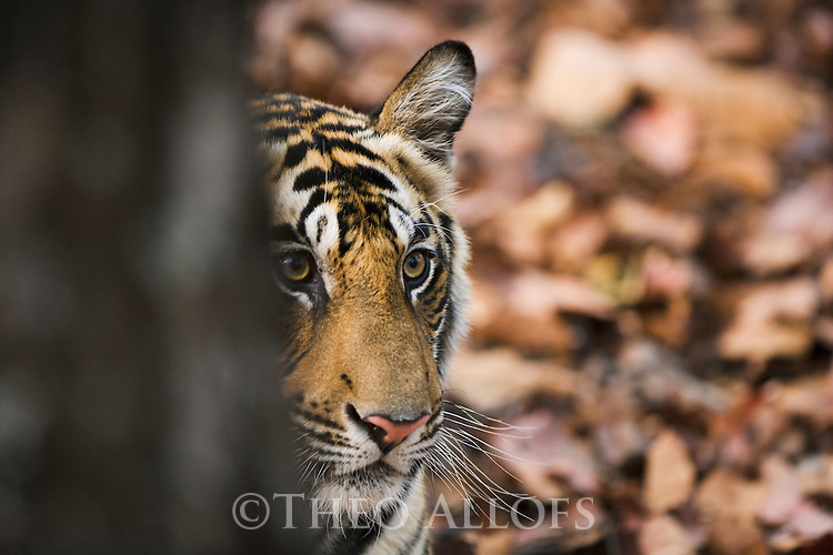 17 months old Bengal tiger cub looking from behind tree, close-up