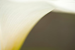 Calla Lily plant close up abstract patterns