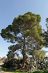 Israel, Jezreel Valley. Aleppo Pine tree in Sarid