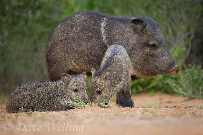 650520315 wild javelinas or collared peccaries dicolytes tajacu forage near a waterhole on santa clara ranch in starr county rio grande valley texas united states