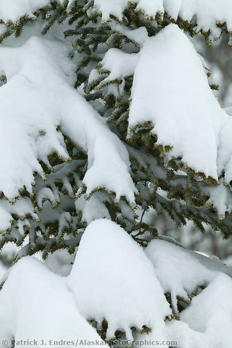 Snow covered spruce trees in the foothills of the Brooks Range, Arctic, Alaska