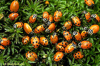 1C01-037b  Convergent Ladybugs sitting on moss, Hippodamia convergens