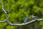Mountain bluebird, pair, Sialia currucoides, male, female, feeding, behavior, wildlife, wild, bird, spring, June, morning, Rocky Mountain National Park, Colorado, USA