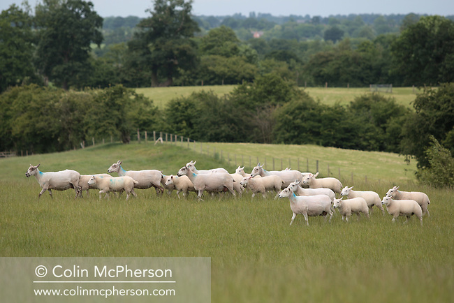 A herd of Welsh mules grazing in a field at Wirswall Hill, near Malpas in Cheshire. Welsh Mules are the progeny of a registered Bluefaced Leicester ram crossed with the Welsh Mountain, Beulah or Welsh Hill Speckled-face ewes, all hardy, healthy Welsh hill breeds which impart their best qualities to their offspring.