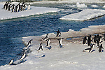 The ice edge is the most dangerous place for Adelie Penguins as they come rocketing out of the water to heights of up to ten feet, Antarctica.