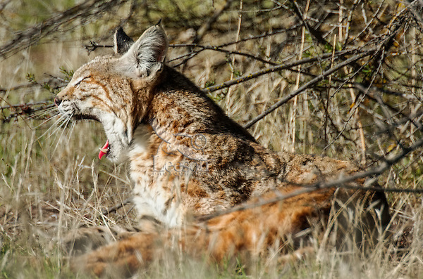 Wild Bobcat (Lynx rufus) yawning.  Central California.  December.  (Completely wild, non-captive cat.)