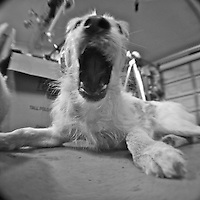Willow, a terrier mix, yawns in the evening in Holly Hill, FL.  (Photo by Brian Cleary/www.bcpix.com)