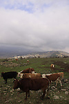 Cows in the Golan Heights