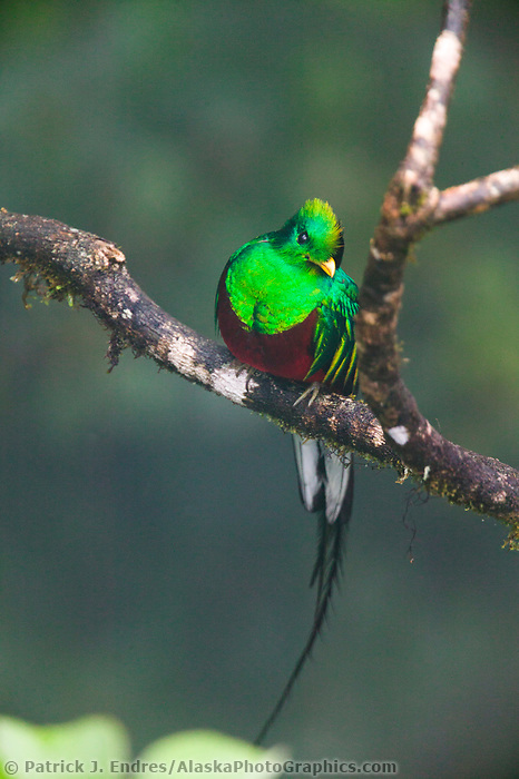 Resplendent Quetzal, Monte Verde Cloud forest, Cost Rica, Central America.