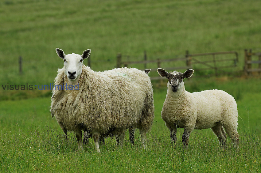 Crossbred Cheviot mule ewe with suffolk sired lambs at foot , Hawick , Scottish Borders