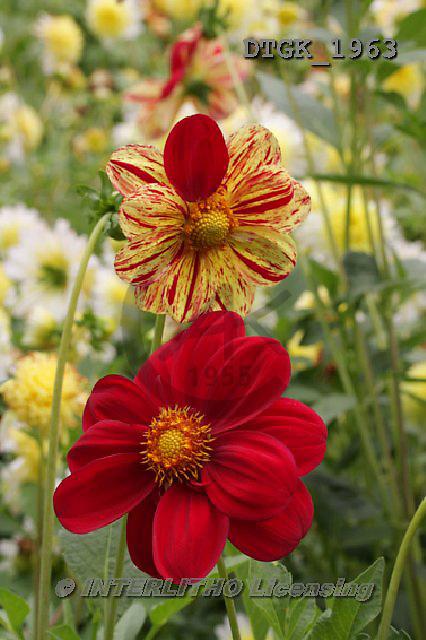 Gisela, FLOWERS, BLUMEN, FLORES, photos+++++,DTGK1963,#f#