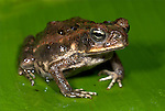 Wet Forest Toad, Bufo melanochlorus, Hacienda Baru, Costa Rica, tropical jungle, on forest floor,.Central America....