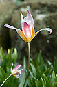 Water-lily tulip (Tulipa kaufmanniana), late March.