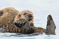 Sea Otter (Enhydra lutris) pup riding on mom's tummy.