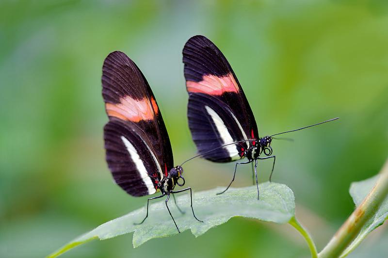 Two postman butterflies. (Helicomius erato). Portland Zoo, Oregonm