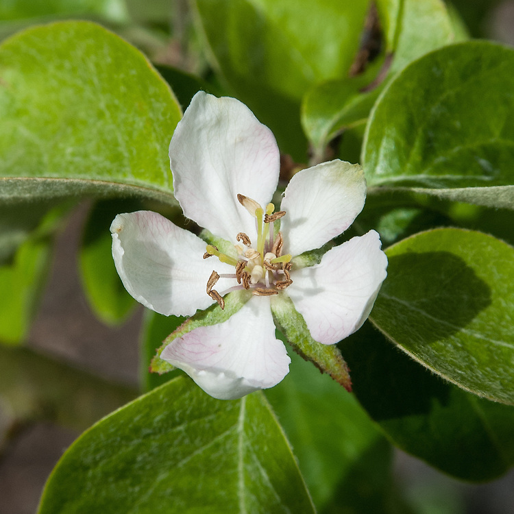 Blossom of Quince 'Agvambari', early May. A small, round, pear-shaped variety originally from Turkey.