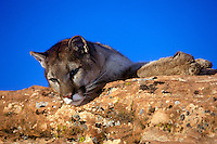 Mountain Lion reclining on sandstone ledge