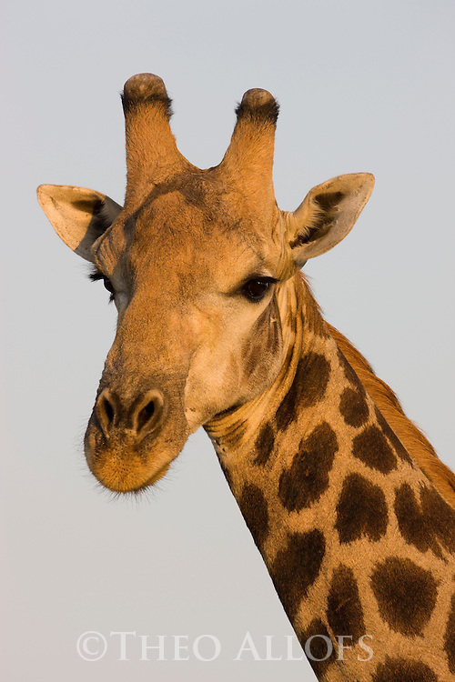 Giraffe (Giraffa camelopardalis) portrait, Okavango Delta, Moremi Game Reserve, Botswana
