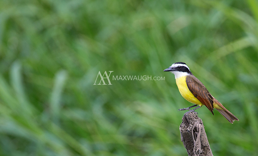 One of the more common tropical birds I see during my travels.