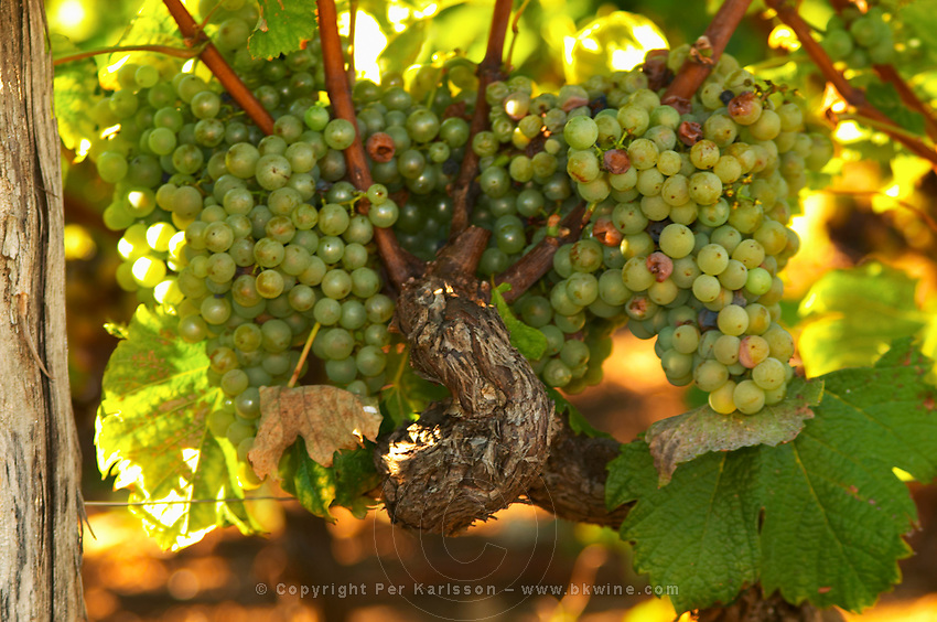 Bunches of Semillon grapes that are far from ready to pick on an old vine - Chateau Haut Bergeron, Sauternes, Bordeaux