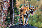 India, Madhya Pradesh, Pench National Park , tiger (Panthera tigris), endangered