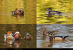 Mandarin Male with Wood Duck Female, Wood Duck Male with Mandarin Female, Franklin Canyon, Southern California