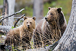 Grizzly bear sow with yearling cub. Yellowstone National Park, Wyoming.