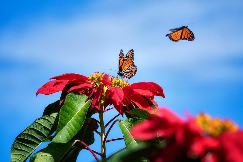 Monarch butterflies on pointsettia flowers. Sun Yat Sen Park, Maui, Hawaii