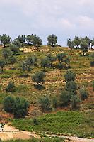 Hillside with olive trees. Berat lower town. Albania, Balkan, Europe.