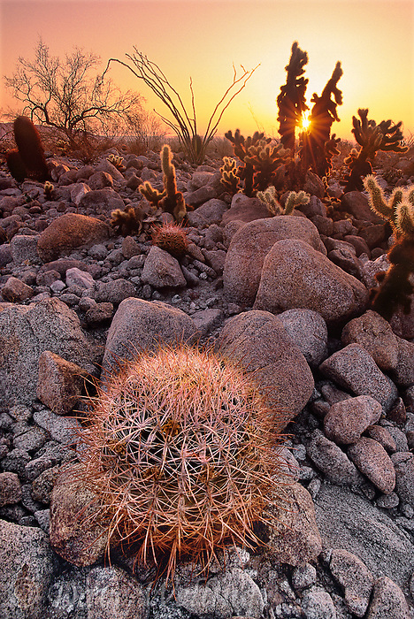 105680010 a wild desert barrel cactus ferocactus cylindraceus jumping cholla and ocotillo plant backlit by the rising sun in anza borrego desert state park california