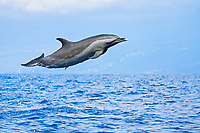 Pantropical Spotted Dolphin, Stenella attenuata, leaping, off Kona, Big Island, Hawaii, Pacific Ocean